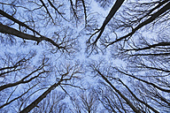 Germany, Rhineland Palatinate, North Vosges, Upward view of european beech trees in winter - GWF001476