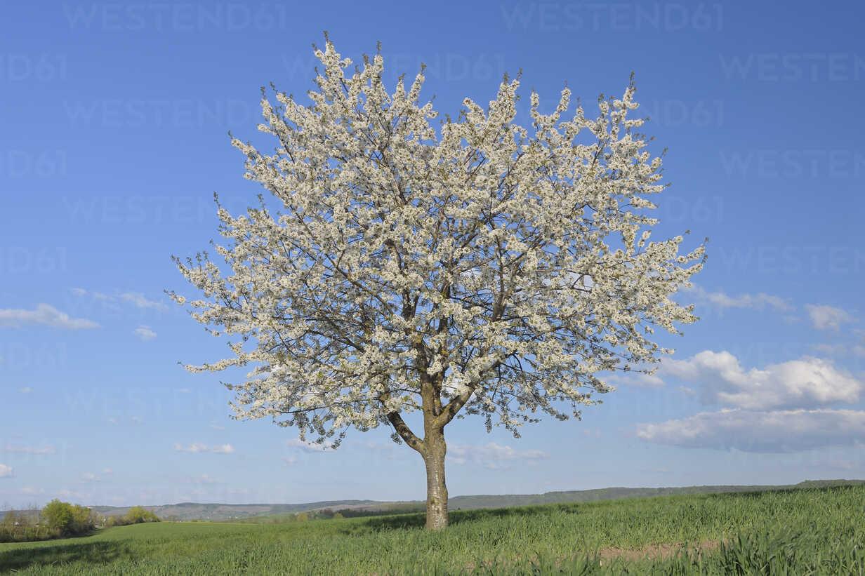 Europe, Germany, Bavaria, Franconia, View of single cherry tree blossom in field - RUEF000717 - Martin Rügner/Westend61