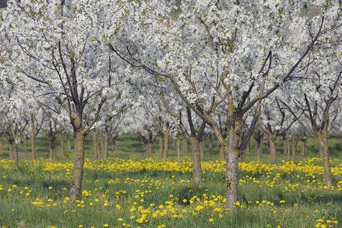 Germany, Bavaria, Franconia, View of cherry tree plantation in blossom - RUEF000707