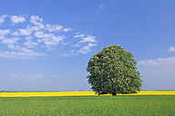 Germany, Mecklenburg-Vorpommern, View of single blossoming horse chestnut tree with rape field in background - RUEF000692