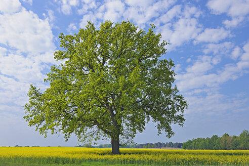 Germany, Mecklenburg-Vorpommern, View of single oak tree in rape field - RUEF000690