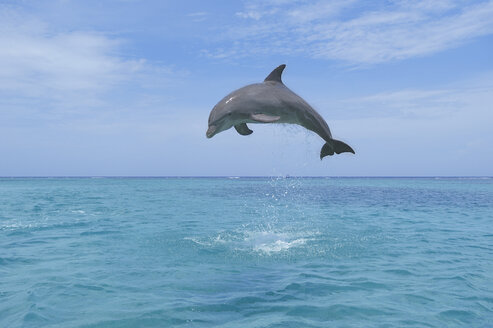 Latin America, Honduras, Bay Islands Department, Roatan, Caribbean Sea, View of bottlenose dolphin jumping in seawater - RUEF000661