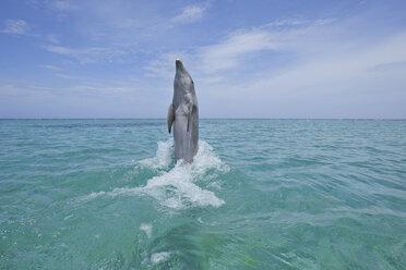 Latin America, Honduras, Bay Islands Department, Roatan, Caribbean Sea, View of bottlenose dolphin jumping in seawater - RUEF000653