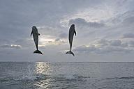 Latin America, Honduras, Bay Islands Department, Roatan, Caribbean Sea, View of bottlenose dolphins jumping in seawater at dusk - RUEF000643