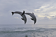 Latin America, Honduras, Bay Islands Department, Roatan, Caribbean Sea, View of bottlenose dolphins jumping in seawater at dusk - RUEF000640