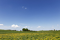 Germany, Bavaria, Upper Bavaria, Muensing, Holzhausen, View of church at distant with meadows of dandelions - SIEF001565