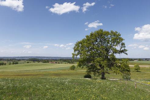 Germany, Bavaria, Upper Bavaria, Muensing, View of oak tree in meadow with lake Starnberg in background - SIEF001555