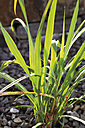 Germany, Close up of West Indies lemon grass plant - CSF015190