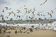 Africa, Guinea-Bissau, Flock of seagulls flying on sea shore - DSGF000007