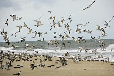 Africa, Guinea-Bissau, Flock of seagulls flying on sea shore - DSGF000007