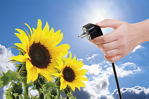 Hand of woman holding power plug next to sunflowers against blue sky and sun, close up - TSF000331