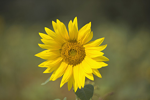 Germany, Hannover, Sunflower, close up - HKF000481