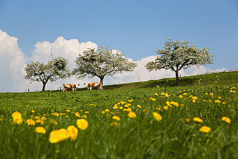 Germany, Munich, Muensing, View of cows grazing in meadow - HSIF000125