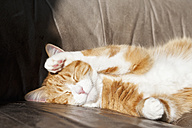 Germany, Bavaria, Close up of European Shorthair cat lying on leather couch - FOF003597