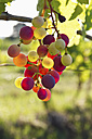 Croatia, Istria, Bunch of wine grapes hanging on vine - MBEF000171