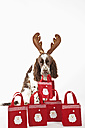 Christmas gifts bags with english springer spaniel on white background - MAEF003763