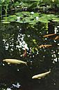 Germany, Hessen, Frankfurt, Cyprinus carpio fishes in garden lake - MUF001109