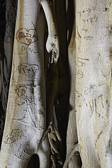 Israel, Text carvings on tree trunk - TL000577