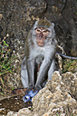 Indonesia, Bali Island, Bukit peninsula, Monkey sitting with water bottle - WVF000191