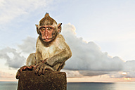 Indonesia, Bali Island, Bukit peninsula, Monkey sitting on stone - WVF000188