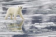 Europe, Norway, Svalbard, Polar bear walking on ice - FOF003601