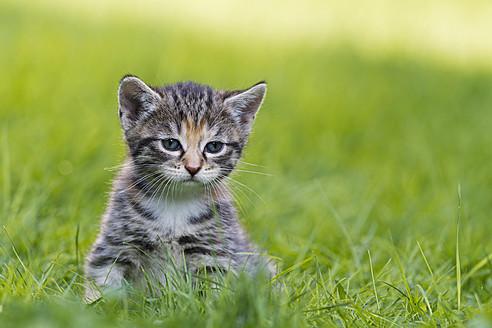 Germany, Kitten in meadow, close up - FOF003617