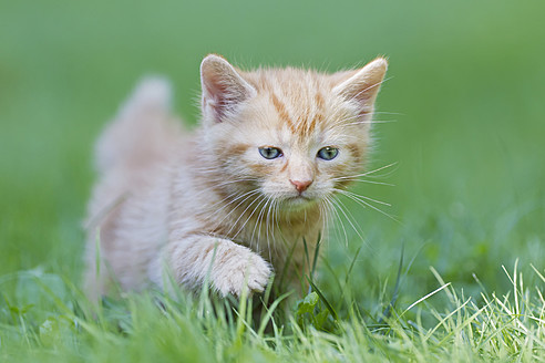 Germany, Kitten walking in meadow, close up - FOF003620