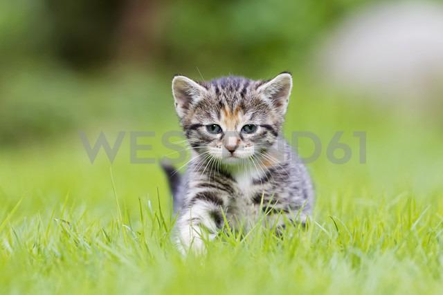 Germany, Kitten in meadow, close up - FOF003626