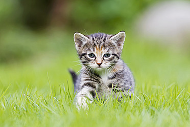 Germany, Kitten in meadow, close up - FOF003626