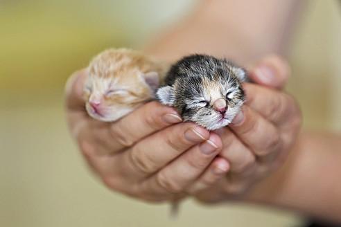 Germany, Mature woman holding newborn kittens, close up - FOF003671