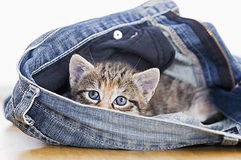 Germany, Kitten sitting in jeans, close up - FOF003649