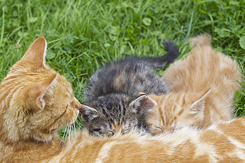 Germany, Cat with kittens in meadow - FOF003712