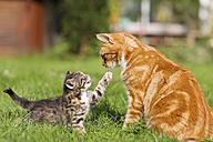 Germany, Cat with kitten in meadow - FOF003714