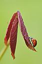 Germany, Bavaria, Franconia, Seven spot lady bird perching on leaf, close up - RUEF000732