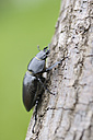 Germany, Bavaria, Franconia, Stag beetle on tree trunk, close up - RUEF000733
