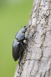 Germany, Bavaria, Franconia, Stag beetle on tree trunk, close up - RUEF000733