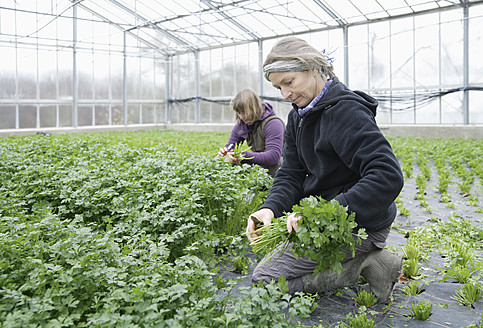 Germany, Upper Bavaria, Weidenkam, Woman working in greenhouse of parsley - TCF002074