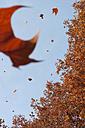 Germany, Hesse, Frankfurt, Tree and falling leaves - MUF001182
