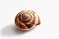 Shell on white background, close up - CSF015619