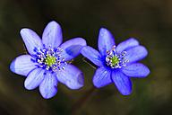 Germany, Bavaria, Anemone hepatica, close up - FOF003857