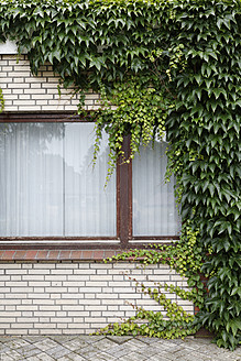 Germany, Virginia creeper growing on window - ANB000036