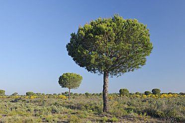 Europe, Spain, Andalusia, View of pine tree in spring at Donana National Park - RUEF000802