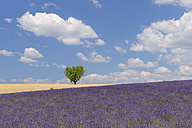 France, View of lavender field with tree - RUEF000820