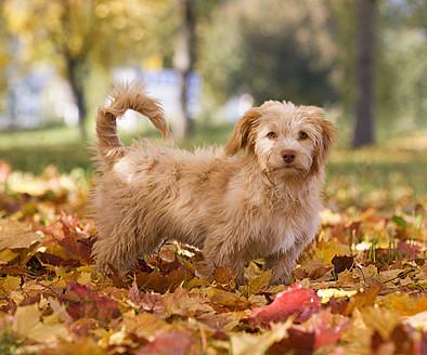 Austria, Dog standing on autumn leaf - WWF002175