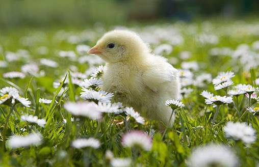 Austria, Baby chicken in meadow, close up - WWF002043