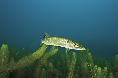 Northern pike in water with milfoil - GNF001199
