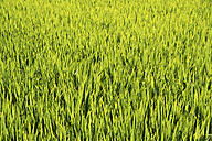 India, View of rice field - MBEF000262