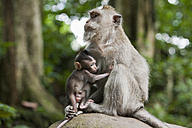 Indonesia, Bali, Long tailed macaque - DSF000217