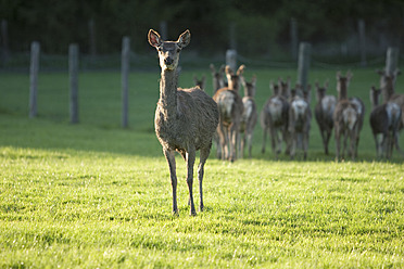 Germany, Bavaria, Group of roe deer - DSF000558