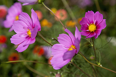 Germany, Bavaria, Wuerzburg, Cosmea in botanical garden - NDF000248